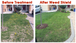 Branch Creek Weed Shield Selective Organic Weed Killer Before and After